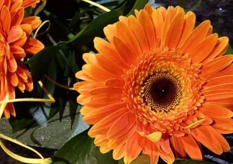 Flors l'anthurium 17
